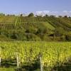 Weine aus dem Südburgenland