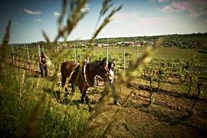 Mit dem Pferdepflug durch den Weingarten
